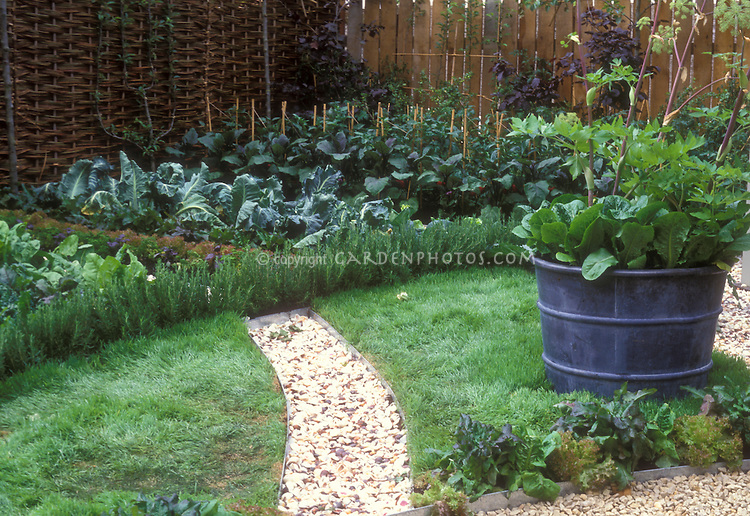Backyard vegetable gardening, with path in lawn, big pot container of sorrel and Angelica herb, plantings of lettuce, cabbages, trellised fruit against fence
