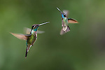Male Magnificent Hummingbirds (Eugenes fulgens) hovering / in flight. Montane forest, Bosque de Paz, Caribbean slope, Costa Rica, Central America.