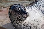 harbor seal female, medium shot hauled out on ledge