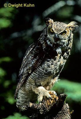 OW06-012z  Great horned owl - Bubo virginianus