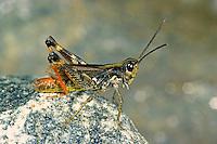 Kiesbank-Grashüpfer, Kiesbankgrashüpfer, Männchen, Chorthippus pullus, Glytobothrus pullus, Stauroderus pullus, Gravel Bank Grasshopper, Gravel Grasshopper, male, Criquet des iscles