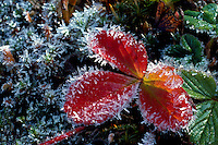 Frosted Berries, Flowers, & Leaves