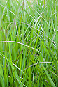 Panicum virgatum 'Squaw', early July. A form of Switch grass with fresh, bright green leaves in early summer and pink inflorescences from midsummer.