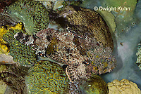 "TP11-530z  Camouflaged Spotted Scorpion Fish ""Venomous Spines on Fish"" - Scorpaena plumieri"