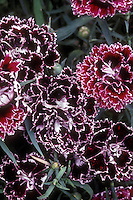 Dianthus 'Black & White Minstrels' black flowered plant