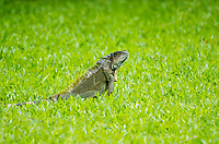 Green Iguana, Iguana iguana, on a lawn at Laguna Lodge, Tortuguero National Park, Costa Rica