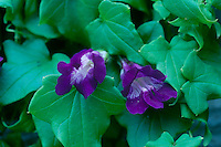 Purple gloxinia flowers with lovely green leaves