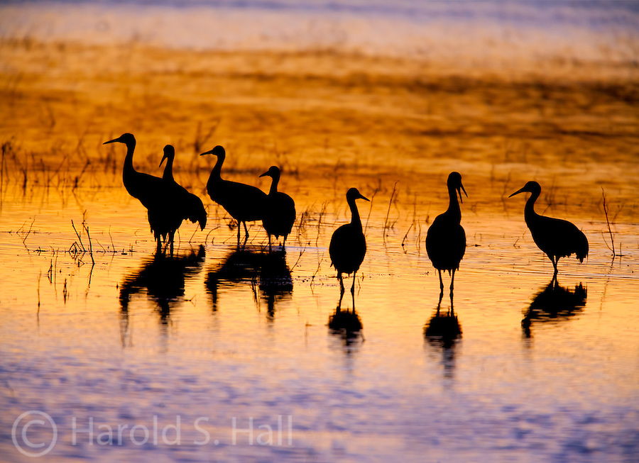 Bosque del Apache National Wildlife Refuge located near Socorro, New Mexico is home to many thousands of sandhill cranes and snow geese.