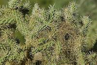 Cactus Wren nest in Chain-fruit Cholla.  Sonoran Destert, Arizona.