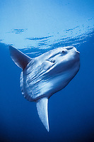 ocean sunfish, Mola mola, open ocean, San Diego, California, USA, East Pacific