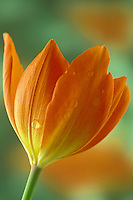 Orange varigated spring tulip, Liliaceae, close up opening in the garden