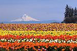 Tulip flowers at Wooden Shoe Tulip Company, Woodburn, Oregon.