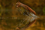 Squirrels jump in and out of water to retrieve fallen nuts by Marta Demarteau