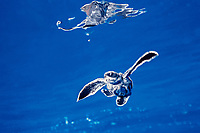 leatherback sea turtle hatchling swims out to sea from the nesting beach, Dermochelys coriacea ( c-r ), Juno, Florida