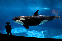 killer whale, Orcinus orca, and child, San Deigo, California, USA (c)