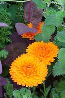 Calendula officinalis Pot marigold