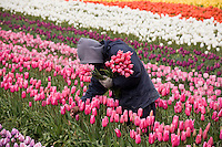 Farm worker in tulip agriculture field of cut flowers at Tulip Festival, Skagit Valley Washington