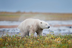 Polar Bear (Ursus maritimus) emerging from stream and shaking itself dry. Shores of Hudson Bay, Canada in late September.