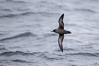 Sooty Shearwater (Puffinus griseus), foraging in Carnley Harbour in the Aukland Islands, New Zealand.
