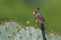 Pyrrhuloxia, Cardinalis sinuatus,female on Texas Prickly Pear Cactus (Opuntia lindheimeri), Starr County, Rio Grande Valley, Texas, USA