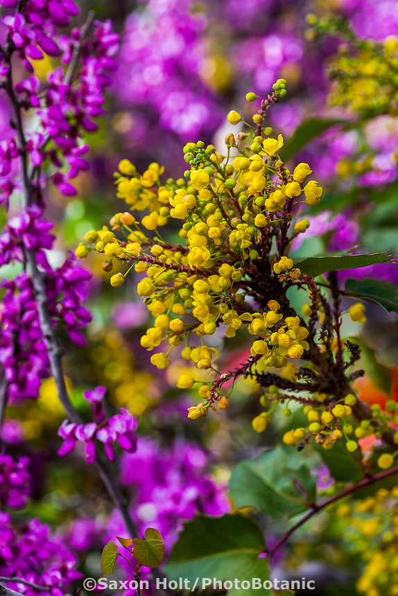 Berberis 'Golden Abundance' (Golden Abundance Oregon Grape), aka Mahonia, yellow flower California native shrub with Redbud tree in native plant garden