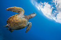 A green sea turtle, Chelonia mydas, an endangered species, heads to the surface for a breath. Hawaii.