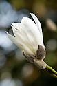 Magnolia 'Neil McEacharn', mid March.
