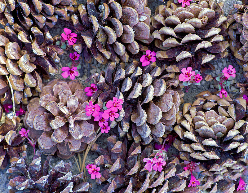 Mimulus tricolor with Ponderosa Pine cones. Near Lapine, Oregon