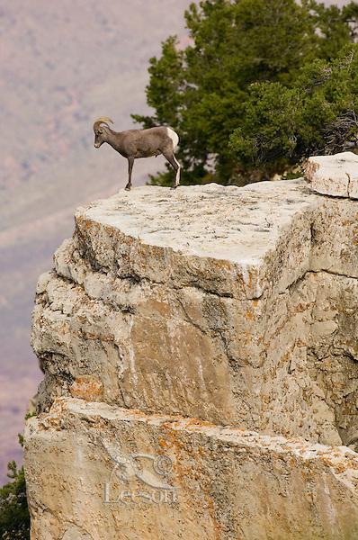 Desert Bighorn Sheep (Ovis canadensis nelsoni)--young ram.  Grand Canyon National Park, Arizona.