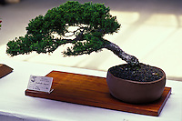 Close up of a juniper bonsai plant in a show, Big island of Hawaii