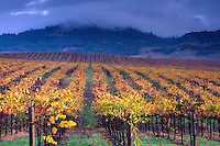 Gray Storm clouds over rows of Yellow gold leaves on wine grape vines in vineyard, Alexander Valley, Sonoma County, California.