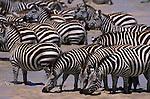 A herd of Burchell's zebra drink from a river in Kenya.