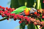 Rainbow Lorikeet - Trichoglossus haematodus