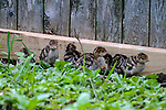 6 - 5 day old Eastern wild turkey poults walks through backyard garden under the close eye of her mother.
