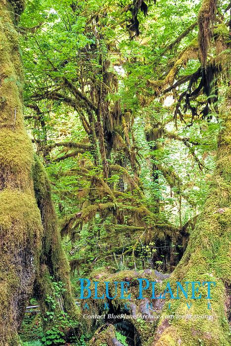 Big leaf maple, Acer macrophyllum, and hanging moss, Oregon salaginella, Salalginella oregana, Hoh rainforest, Olympic National Park, Olympic Peninsula, Washington, USA