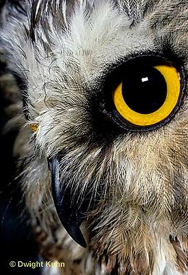 OW02-187z  Saw-whet owl - close-up of face showing curved beak and eye - Aegolius acadicus