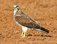 Swainson's hawk light juvenile in spring migration. This bird part of large flock that followed tractors as they plowed field.