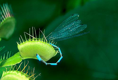 CA13-012e  Venus Fly Trap - damselfly prey caught in trap, carnivorous plant - Dioncea muscipula