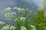 Europa, DEU, Deutschland, Nordrhein-Westfalen, Niederrhein, Wachtendonk, Fluss Niers, Aue, Auenlandschaft, Typische Landschaft, Schafgarbe (Achillea), Bluete, Gewoehnliche Wiesen-Schafgarbe (Achillea millefolium), Natur, Umwelt, Landschaft, Jahreszeiten, Stimmungen, Landschaftsfotografie, Landschaften, Landschaftsphoto, Landschaftsphotographie, <br /> <br /> [Fuer die Nutzung gelten die jeweils gueltigen Allgemeinen Liefer-und Geschaeftsbedingungen. Nutzung nur gegen Verwendungsmeldung und Nachweis. Download der AGB unter http://www.image-box.com oder werden auf Anfrage zugesendet. Freigabe ist vorher erforderlich. Jede Nutzung des Fotos ist honorarpflichtig gemaess derzeit gueltiger MFM Liste - Kontakt, Uwe Schmid-Fotografie, Duisburg, Tel. (+49).2065.677997, ..archiv@image-box.com, www.image-box.com]
