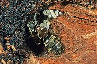 Schwarze Wegameise, Königin mit ihrer Brut, Mattschwarze Wegameise, Schwarze Gartenameise, Schwarzgraue Wegameise, Lasius niger, black garden ant, Common Black Ant