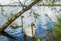 Schwan auf der Havel bei Götz, Groß Kreutz, Potsdam-Mittelmark, Brandenburg, Deutschland