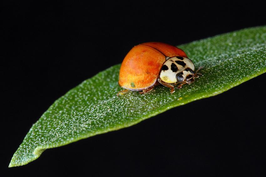 Asian Lady Beetle on a single leaf.
