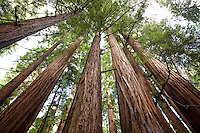 Redwood Trees, Sequoia sempervirens, in Muir Woods
