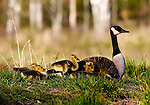 Canada Goose (Branta canadensis) with goslings.  Spring.  Winter, WI