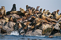 California sea lions (Zalophus californianus) hauled out on rocks, Monterey Bay, California.  Very noisy.