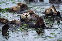 Southern sea otter, Enhydra lutris nereis, Elkhorn Slough, Monterey, California, USA, Pacific Ocean