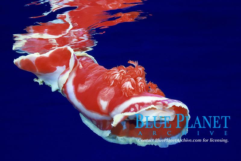 Spanish dancer Nudibranch, Hexabranchus sanguineus, swimming