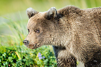 Shy yearling Brown Bear (Ursus arctos) cub follows her mother into the meadow at Lake Clark National Park, Alaska.