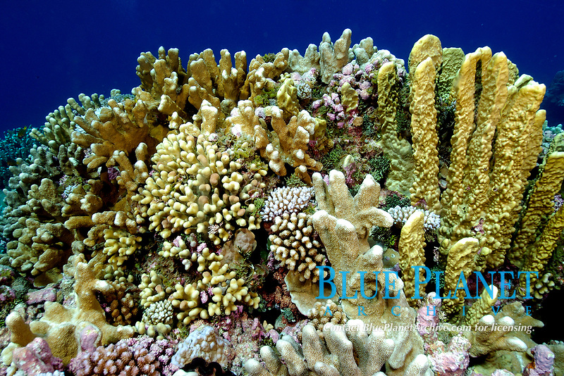 Highly diverse coral reef, including fire coral, Millepora platyphylla, cauliflower coral, Pocillopora meandrina, and cat's paw coral, Stylophora pistillata, Namu atoll, Marshall Islands, , Micronesia, Pacific Ocean