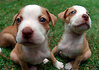 Pit Bull Terrier puppies at 6 weeks..